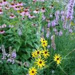 Prairie coneflowers, Blazing Stars, Black-Eyed Susans