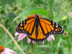 Female Monarch