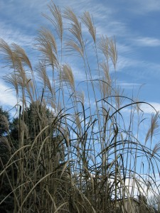 Chinese or Amur Silver Grass