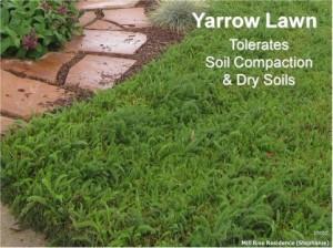 Yarrow Lawn